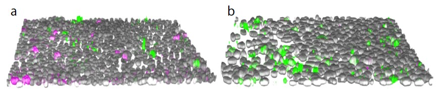 Figure 2. 3D reconstitution of HepG2 cell images