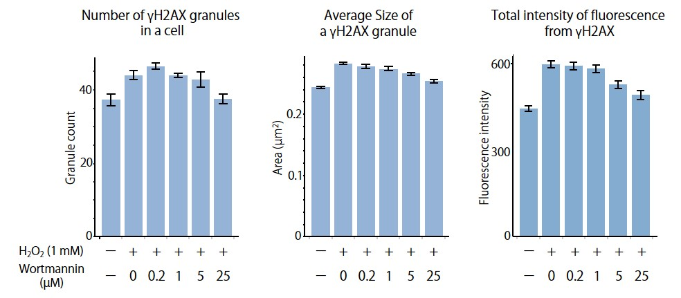 Figure 2. Production of γH2AX granules in response to H2O2 treatment and the inhibition of the granule production by wortmannin