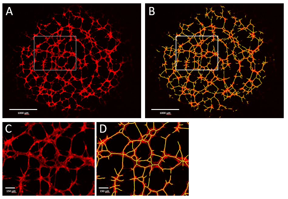Figure 1. Vascular network-like structure formed by HUVECs.