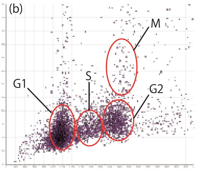 Fig. 2(b): Scatter diagram of individual cells (X-axis: total intensity, Y-axis: max. intensity)