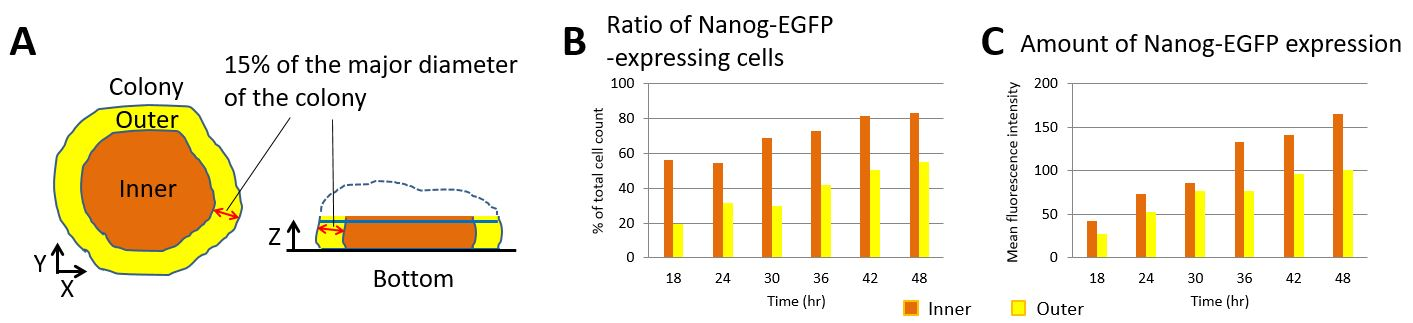 Measurement of Nanog-EGFP expression in individual cells in ES cell colonies growing in 3D