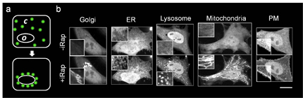 Rapidly-inducible, specifically-targeted recruitment of cytoplasmic proteins to various organelles